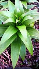 カサブランカの新芽
