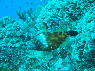 white-spotted filefish