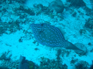 kind of filefish