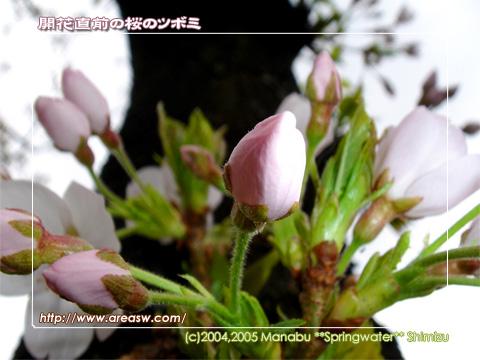 開花直前の桜のツボミ
