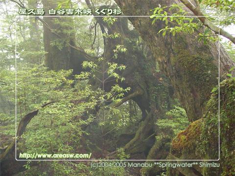 屋久島 白谷雲水峡 くぐり杉