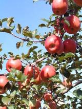 ふじりんごは最高