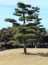 青空にひときわ際だつ松の木