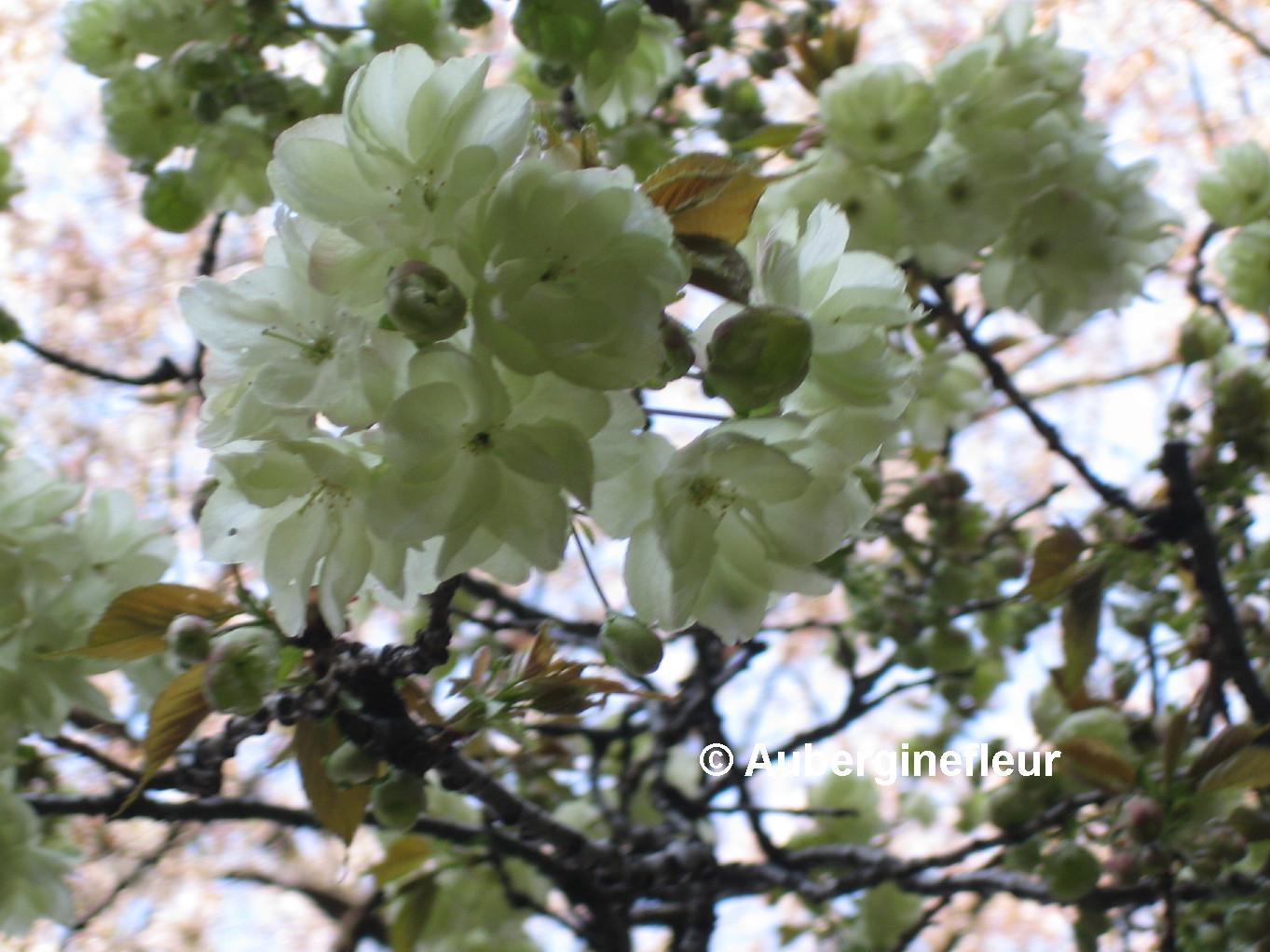 Identification: - Asagi, Kizakura, Gyoiko and Ukon - Greenish white ...