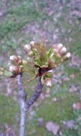 さくらんぼつぼみ花の軸伸び始め