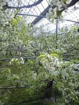 さくらんぼの花開花中