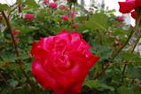 バラ満開です!!!