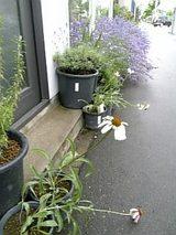 20060702雨上がりのエキナセアとラベンダー