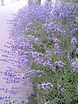 20060701雨に絶えるラベンダー