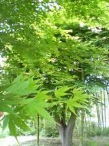 夏の紅葉(もみじ)