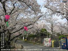 和泉市黒鳥山公園の桜(2)和泉市黒鳥山公園花見画像