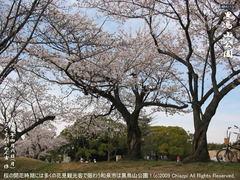 和泉市黒鳥山公園の桜(4)和泉市黒鳥山公園花見画像