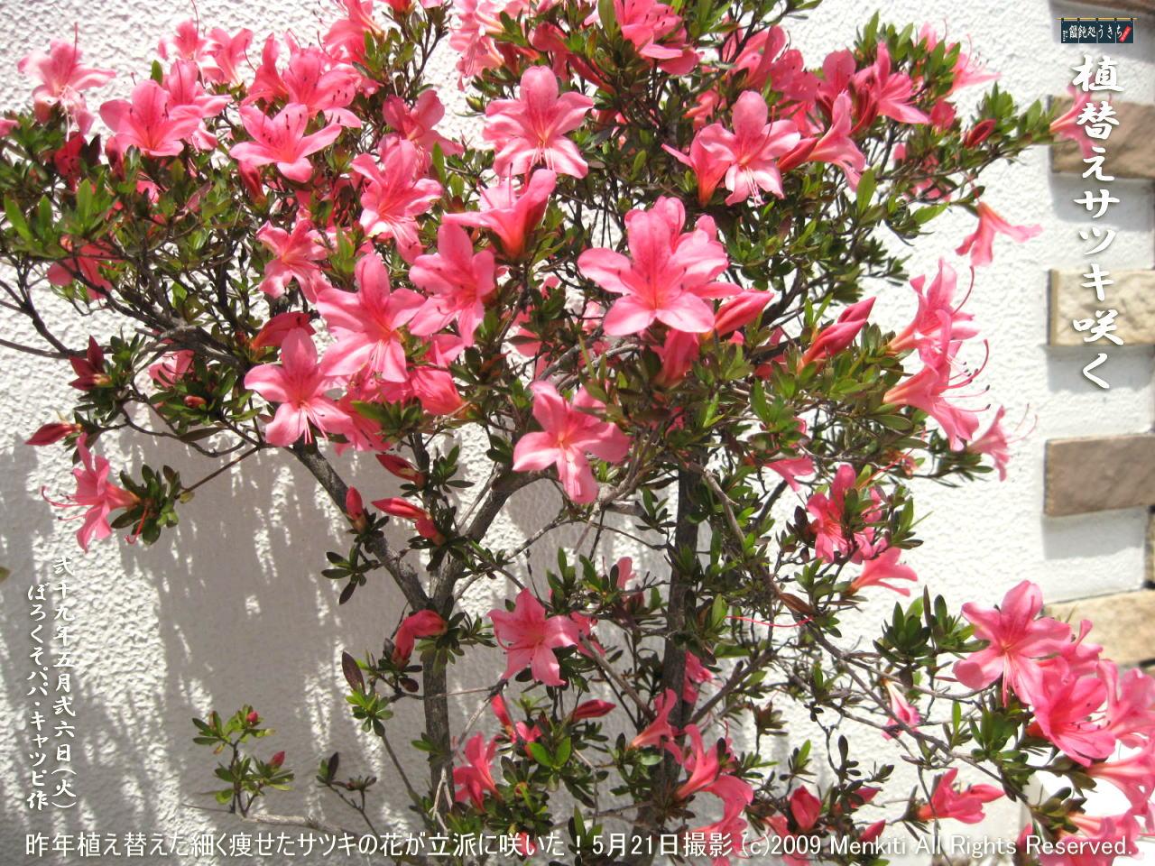 5/26(火)【植替えサツキ】昨年玄関花壇に2本だけ植え替えた細く痩せたサツキの花が立派に咲いた! @キャツピ&めん吉の【ぼろくそパパの独り言】 ▼マウスオーバー(カーソルを画像の上に置く)で別の画像に替わります。     ▼クリックで1280x960画像に拡大します。