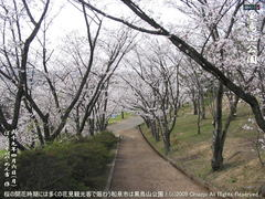 和泉市黒鳥山公園の桜(3)和泉市黒鳥山公園花見画像
