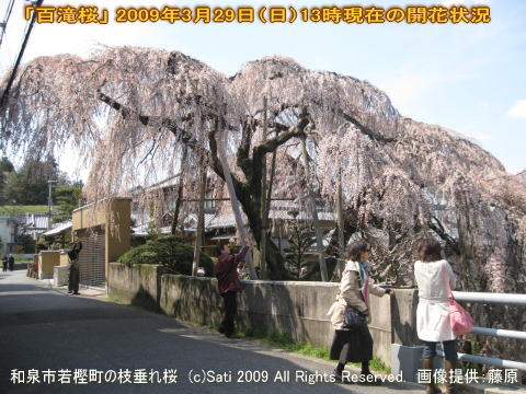【百滝桜】和泉市若樫町の枝垂桜(枝垂れ桜)2009年3月29日(日)開花状況