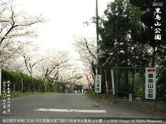 和泉市黒鳥山公園の桜(1)和泉市黒鳥山公園花見画像