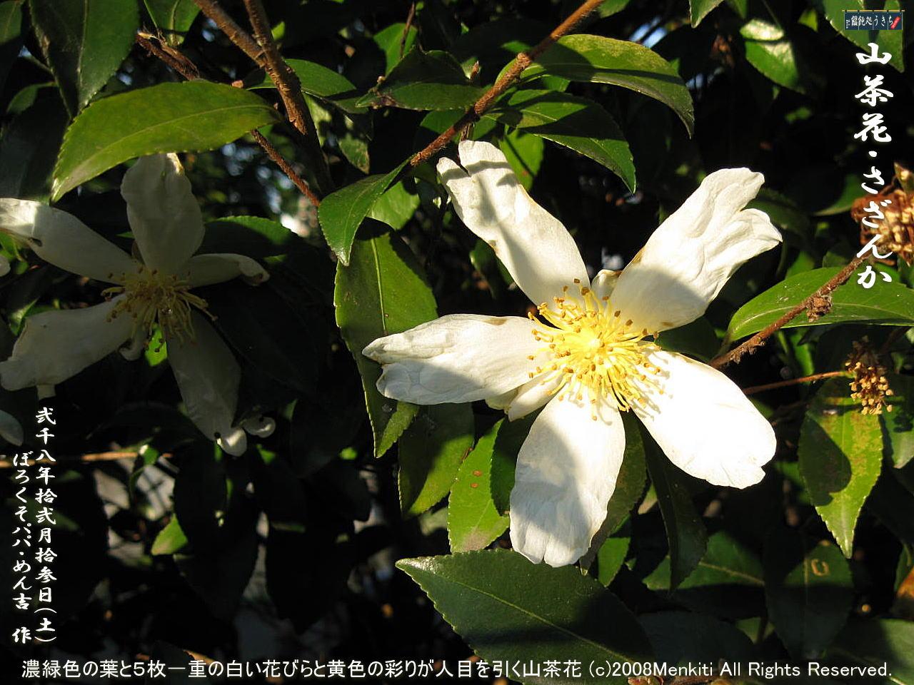 12/13(土)濃緑色の葉と5枚一重の白い花びらと黄色の雄しべの彩りが目を引く名も知らぬ「山茶花・さざんか・サザンカ」@キャツピ&めん吉の【ぼろくそパパの独り言】    ▼クリックで1280x960pxlsに拡大します。