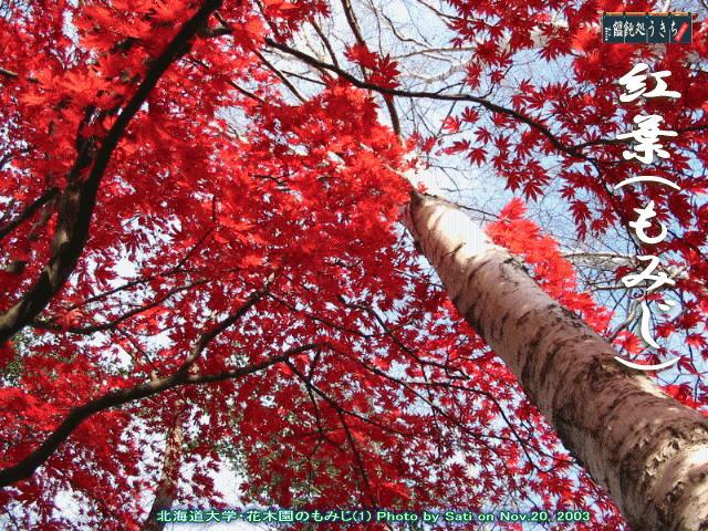 北海道大学花木園紅葉@キャツピ&めん吉の【ぼろくそパパの独り言】          ▼クリックで拡大します。