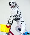ミッキー君(タレント犬 ♂):西さん