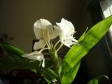 Hawaiiの花