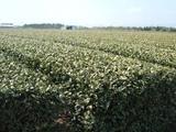 茶畑06319-1