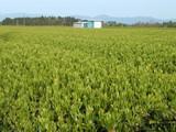茶畑060416-1