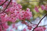 桃の花-0