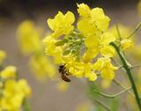 蜂と菜の花06042-3