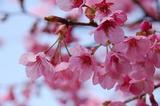 桃の花-00