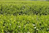 新茶畑-2