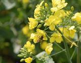 蜂と菜の花06042-2