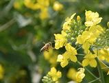 蜂と菜の花06042-1