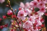 桃の花-3