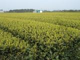 茶畑060409-1