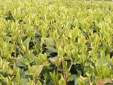 茶畑060409-3