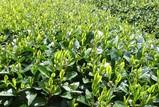 新茶畑-1