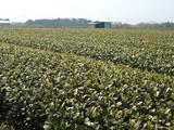 茶畑060403-2