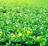 低温でも小豆がHB-101で順調に生育しています