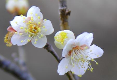 工場に咲く梅の花