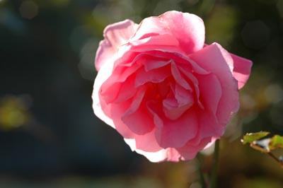 今日の一枚、ピンクのバラ
