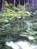 天然のヤマウド