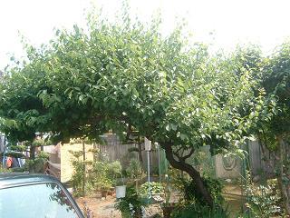 玄関先の梅の木