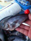 これでも大きい方の魚