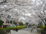 浦安・しおかぜ緑道の桜2007