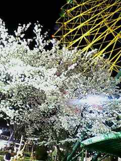 Ferris Wheel in Cherry Blossom season