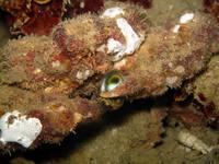 石蟹食事中