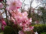 石山寺しだれ桜アップ