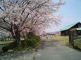 南郷水産センター桜