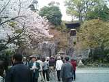 石山寺しだれ桜