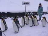 ペンギンの行進は続く。